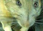 Dịch vụ kiểm soát chuột định kỳ, chuyên nghiệp tại Thái Nguyên
