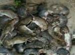Dịch vụ kiểm soát chuột định kỳ chuyên nghiệp,hiệu quả tại Bắc Giang