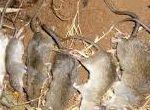 Dịch vụ diệt chuột cho các nhà máy và khu công nghiệp tại Bắc Giang