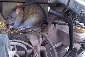 Diệt chuột uy tín cho các nhà máy và khu công nghiệp tại Hải Dương